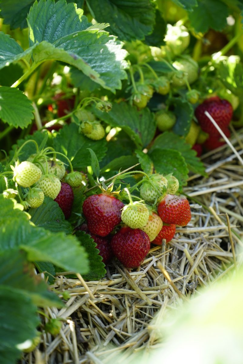 Strawberry picking at Basse's